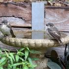 Grey Butcherbird babies