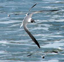 Photo: Laughing gulls