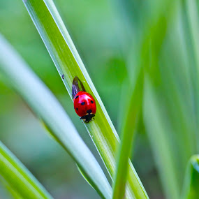 Lady Bug by Jennifer Lamanca Kaufman - Novices Only Wildlife ( flying, polka dots, red, nature, grass, green, craw, wildlife, lady bug, spring, black, outside )