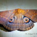 Lola Emperor Moth