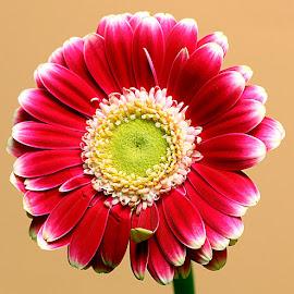 Gerbera by Chrissie Barrow - Flowers Single Flower ( stigma, red, single, stamens, petals, green, white, yellow, gerbera, flower )