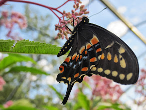 Photo: Butterfly on pink buds under a blue sky at the Cox Arboretum Butterfly House in Dayton, Ohio.