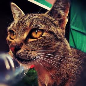 my cat by Bogdan Cristian - Animals - Cats Portraits ( cat, portrait )