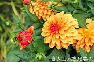 Photo: 拍攝地點: 梅峰-溫帶花卉區 拍攝植物: 大理花 拍攝日期:2013_07_30_FY