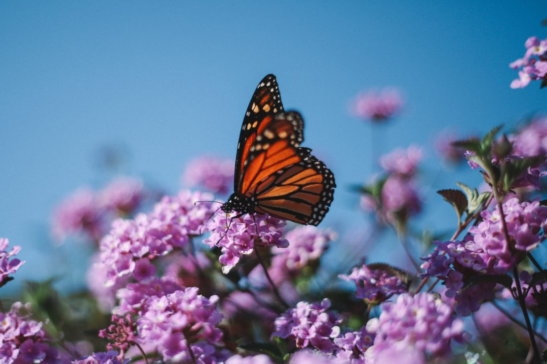 Free stuff to do in Santa Cruz | Natural Bridges Monarch butterflies