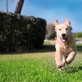 happy boy by Hamish Hamilton - Animals - Dogs Running ( fluffy, runner, cute, lab, golden )