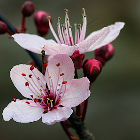 Cherry Blossom by Chrissie Barrow - Flowers Tree Blossoms ( stigma, cherry, macro, red, stamens, petals, pink, buds, bokeh, closeup, blossom,  )