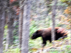 Photo: Bear on the move and so were we