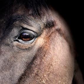 Contessa  by Christine Bottomly - Animals Horses ( sad, horse, intense, emotion )