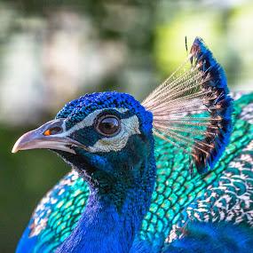 Peafowl (Indian Peacock male) by Brijesh Meena - Animals Birds ( peafowl, indian, wildlife, birds, peacock,  )