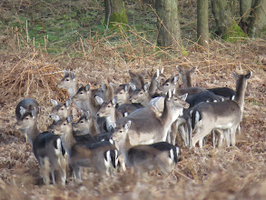 Photo: The Wrekin There seems to be 19 Fallow Deer in this group at the side of The Wrekin. (Ed Wilson)