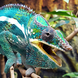 Chameleon by Ingrid Anderson-Riley - Animals Reptiles