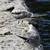 Crested Terns (adult with juvenile)