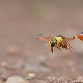 malabek  by Just Arief - Animals Insects & Spiders ( macro, wasp, insect, natural, photography, animal,  )