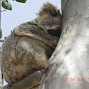 Northern/Queensland Koala