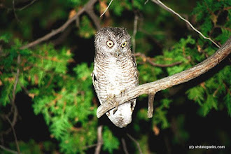 Photo: From Stanley J. Berson: Owl at Grand Isle State Park