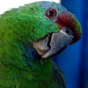curious parrot by Lyn Simuns - Animals Birds ( green, closeup, bird, parrot )