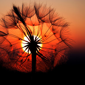 summer sunset by Naiden Bochev - Flowers Single Flower ( macro, sky, sunset, summer, sun, flower )