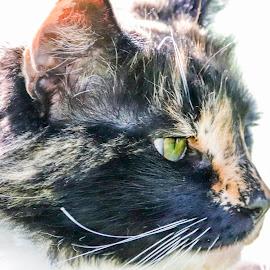 Dreamer by Roedie Zandberg - Animals - Cats Portraits ( cats, feline, black cat, white cat, cat, felines, cat eyes, domestic cat, ginger cat )