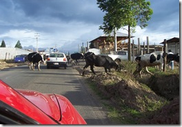 cows in street2
