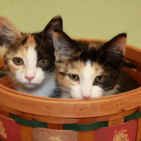 calico sisters by Sharon Scholtes - Animals - Cats Kittens ( orange, sisters, cat, green, white, basket, brown, kittens, callico )