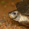 Indian black turtle