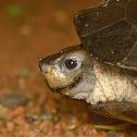 Indian black turtle