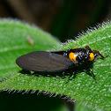 Golden Back Cicada