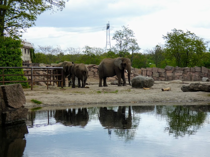Słonie afrykańskie w ZOO