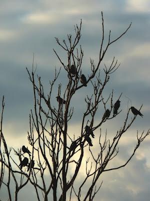 L'albero dei corvi di ombry