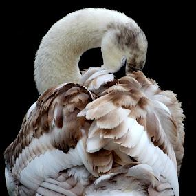 Elegance by Yvette O Beirne - Animals Birds ( water, bird, cygnet, nature, fowl, pwcmovinganimals, swan, feather,  )