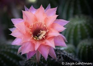 "Photo: ""Echinopsis"" - night blooming cactus flower  Saija Lehtonen Photography  #CactusFlower #Cactus #Flower #Southwest #Nature #Photography"