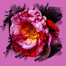 Pepermint Rose by Dave Walters - Digital Art Abstract ( flowers, nature, lumix fz2500, colors,  )