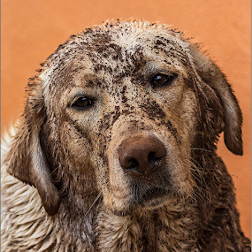 MuddyFace by Hannes Kruger - Animals - Dogs Portraits ( mud, dirty, labrador, dog, portrait,  )