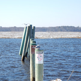 Old Pier with Gulls in Winter by Kristine Nicholas - Novices Only Landscapes ( icy, wood, waterscape, waterbirds, seagulls, ocean, beach, pilings, landscape, birds, gull, sea grass, piers, pole, cold, ice, seaweed, snow, pier, gulls, sea bird, water, waterbird, grass, sea, snowy, water birds, seascape, poles, piling, seabird, sea birds, water bird, sign, bird, wooden, seabirds, winter, seagull, blue, reservation, sea gulls, seagrass, sea gull, waterway,  )