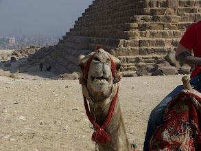 "Photo: Camels sure do make some funny faces.  This one is saying, ""'Sup?"""
