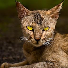 The Cat by Subrata Kar - Animals - Cats Portraits