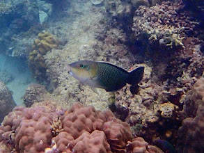 Photo: Hemigymnus melapterus (Adult Blackeye Thicklip Wrasse), Miniloc Island Resort reef, Palawan, Philippines.