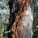 Lightning strike on Eucalyptus Tree