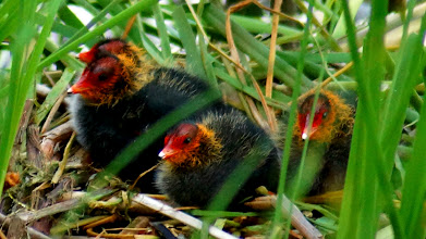 Photo: Cute baby Coots