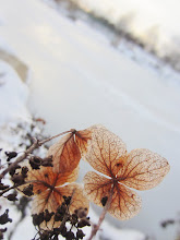 Photo: Brown, veins of dead flowers in the snow by a frozen lake at Cox Arboretum and Gardens in Dayton, Ohio.
