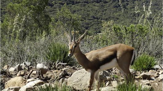 La gacela de Cuvier es un animal en peligro de extinción.