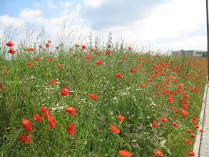 Photo: Poppy near EF 50