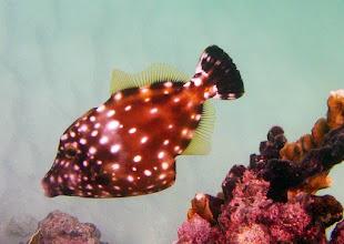 Photo: White Spotted Filefish