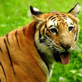 Majestic by SANGEETA MENA  - Animals Lions, Tigers & Big Cats (  )