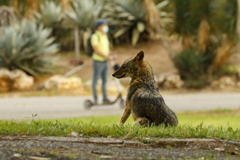 A jackal sits in Hayarkon Park in the Israeli coastal city of Tel Aviv (AFP Photo/JACK GUEZ)