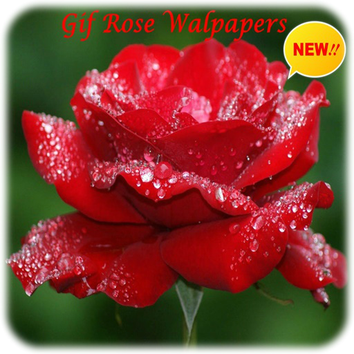 Rose Gif Wallpapers Latest