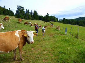 Photo: Ohne Furcht und Tadel queren wir die Mamauwiese; dem Oparazzo begegnen die Muh-Kuhli völlig unaufgeregt.   ;-)