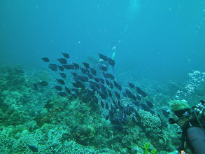 Photo: School of Blue Tangs (with divers)