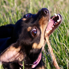 Tink and Stick by Leslie Hendrickson - Animals - Dogs Playing (  )